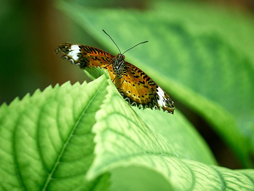 Schmetterling Randers Regenskov